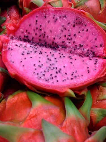 Edgars Baby Dragon Fruit