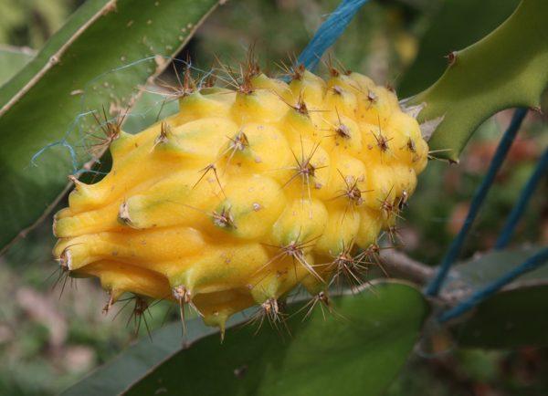 Yellow Dragon Fruit Plant